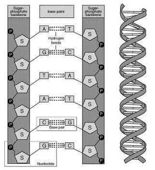Medium-chain acyl-coenzyme A dehydrogenase deficiency - dna and genes